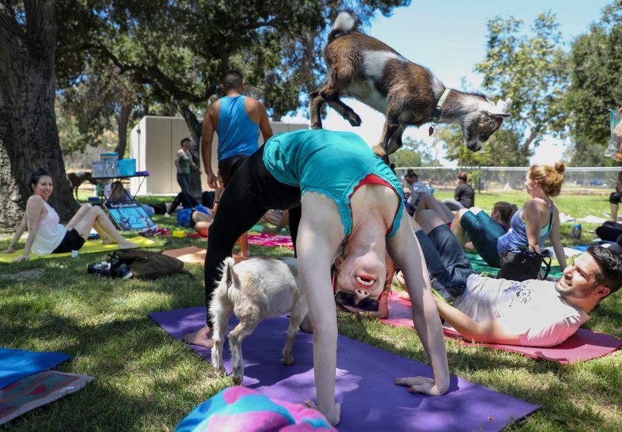 yoga z kozami