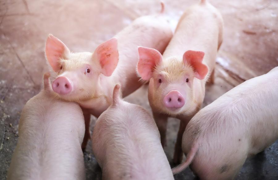 Świnie, zwierzęta