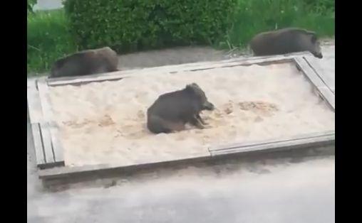 dziki w piaskownicy