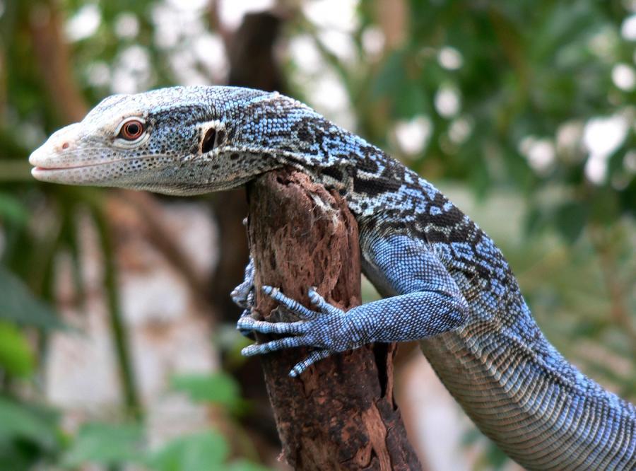 Błękitny wybryk natury w stołecznym zoo