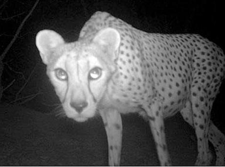 Naukowcy sfotografowali rzadkie gepardy z Sahary