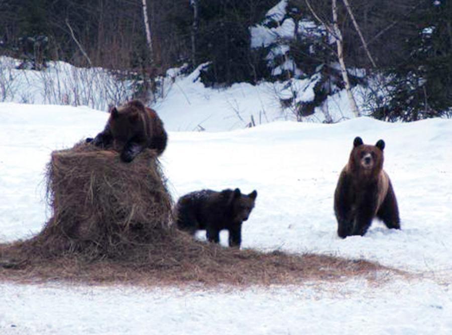Bieszczadzkie misie podkradają jedzenie jeleniom