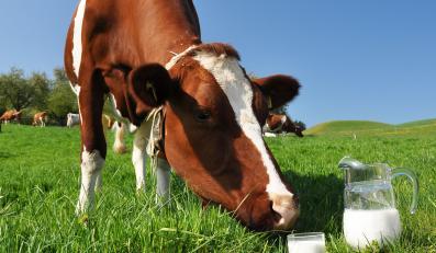 """Sklonowana krowa ma dawać mleko niemal identyczne jak """"ludzkie mleko"""""""