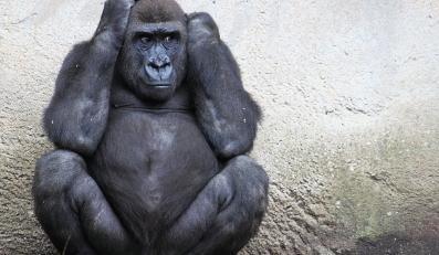 Małpa - zdjęcie ilustracyjne