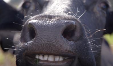 Krowa - zdjęcie ilustacyjne