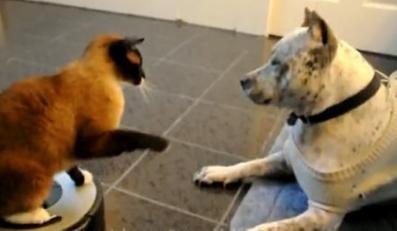 Dom wariatów. Kot bije pitbulla