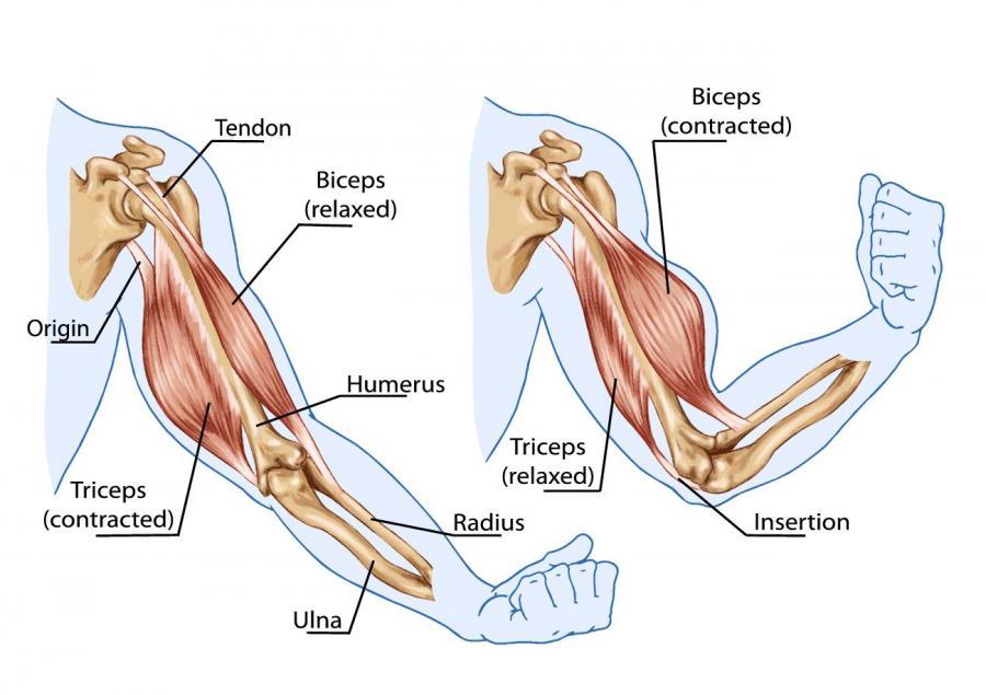 Bicep tricep anatomy