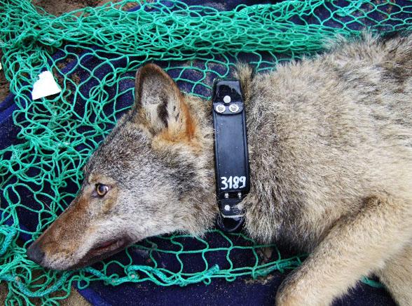 Oto wilk, który wysyła smsy