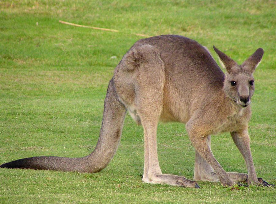 Przemycali kangury z Polski na Ukrainę