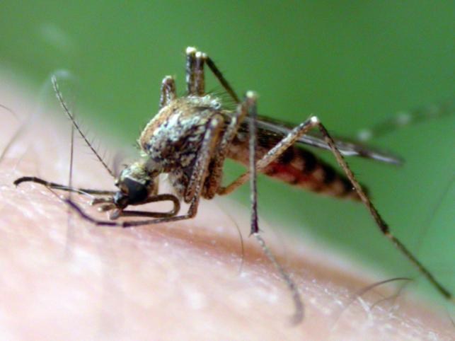 Śpiewać jak zakochany komar